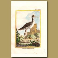 Long-Legged Plover Or Longshank