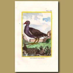 Common Gallinule Or Water Hen