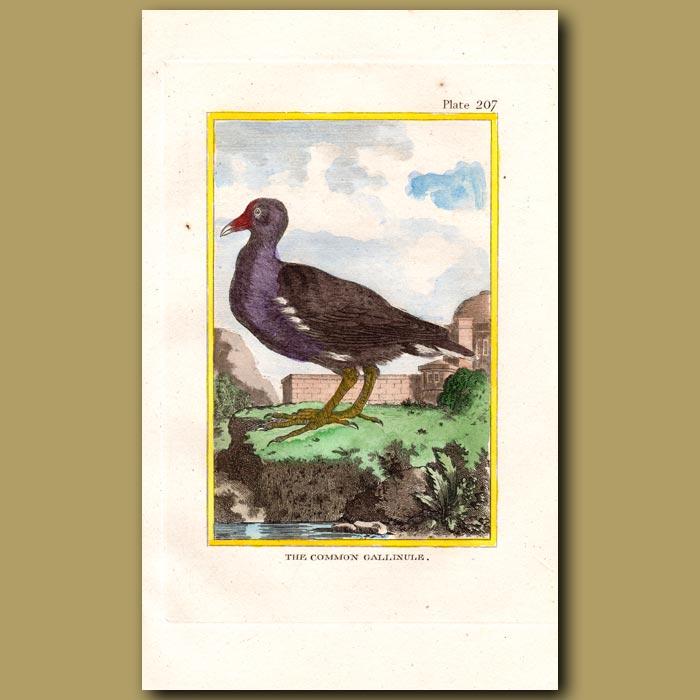 Antique print. Common Gallinule or Water Hen