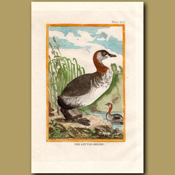 Little Grebe: Genuine antique print for sale.