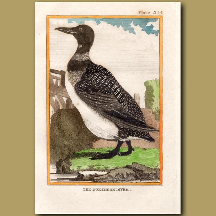Northern Diver: Genuine antique print for sale.