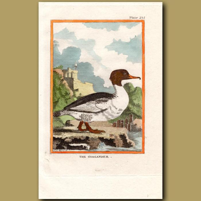 Goosander: Genuine antique print for sale.