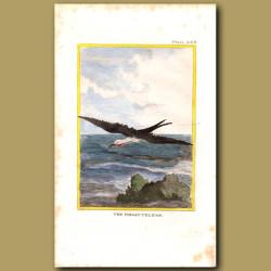 Frigate Bird (Named Frigate Pelican!)