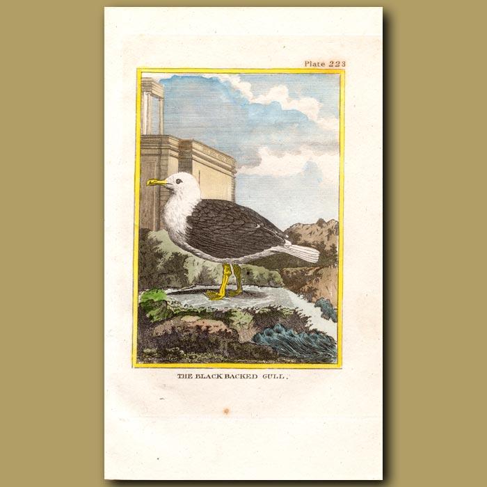 Antique print. Black-backed Gull