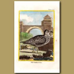Wagel Gull