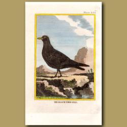 Black-Toed Gull