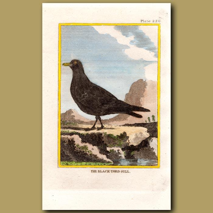 Antique print. Black-toed Gull