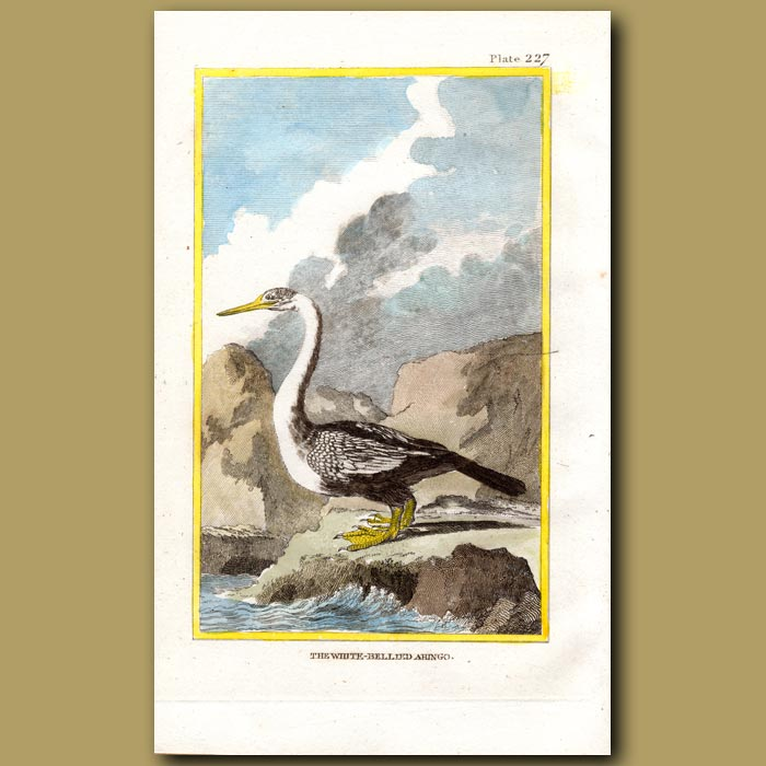 Antique print. White-bellied Anhinga or Snakebird
