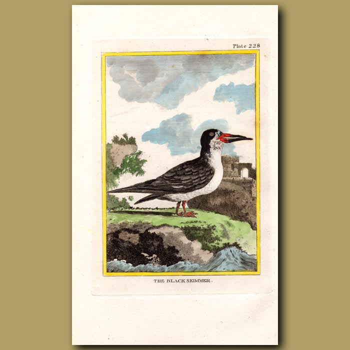 Antique print. Black Skimmer