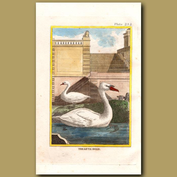 Antique print. Swan