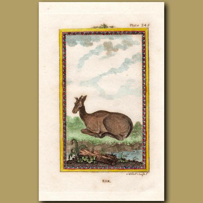 Elk: Genuine antique print for sale.
