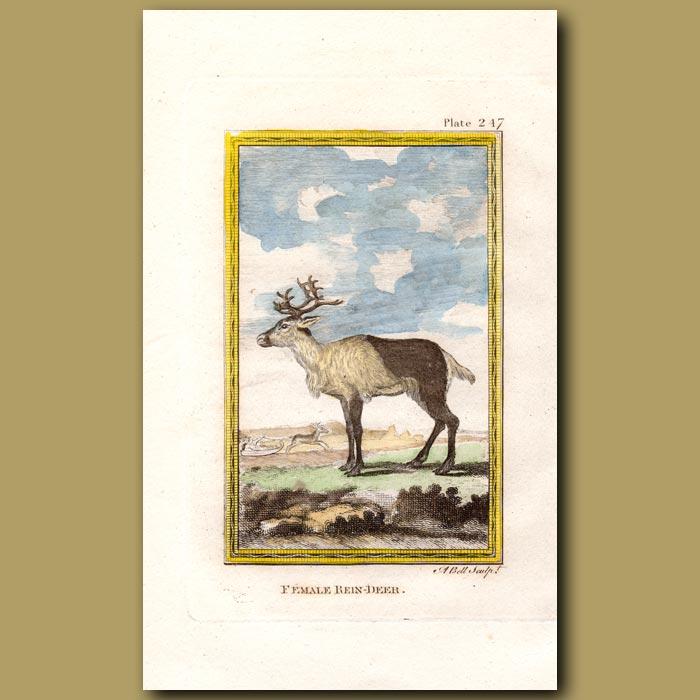 Antique print. Female Reindeer
