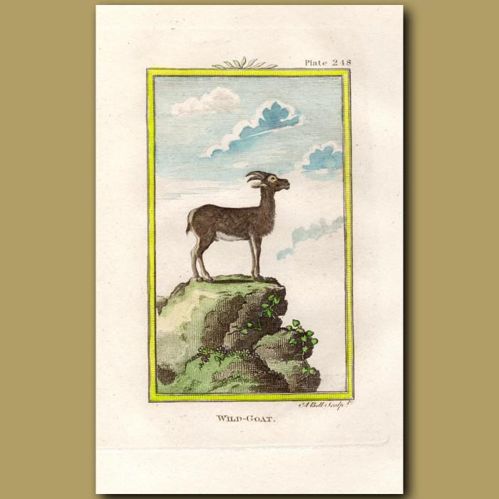 Wild Goat: Genuine antique print for sale.