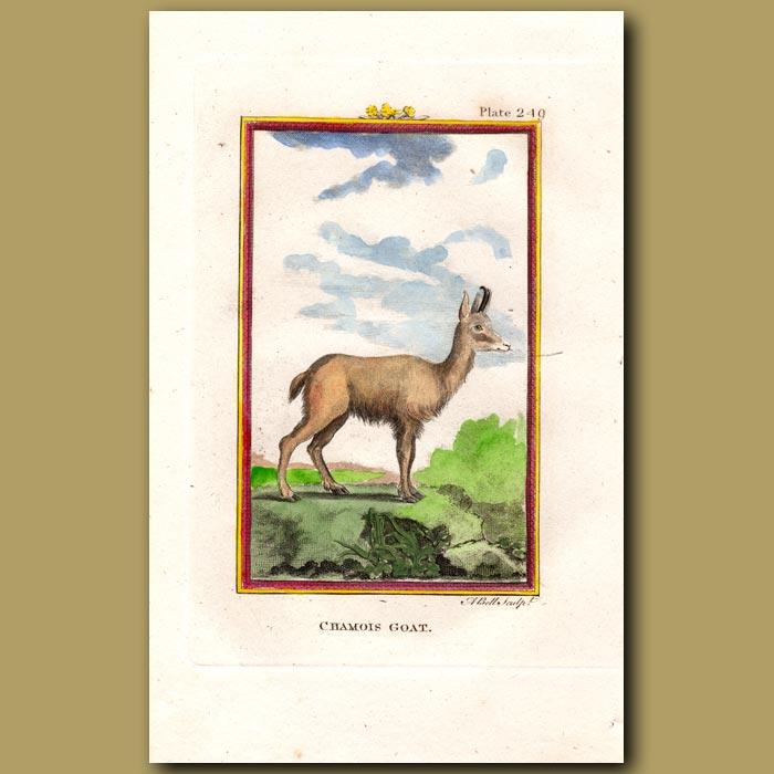 Antique print. Chamois Goat