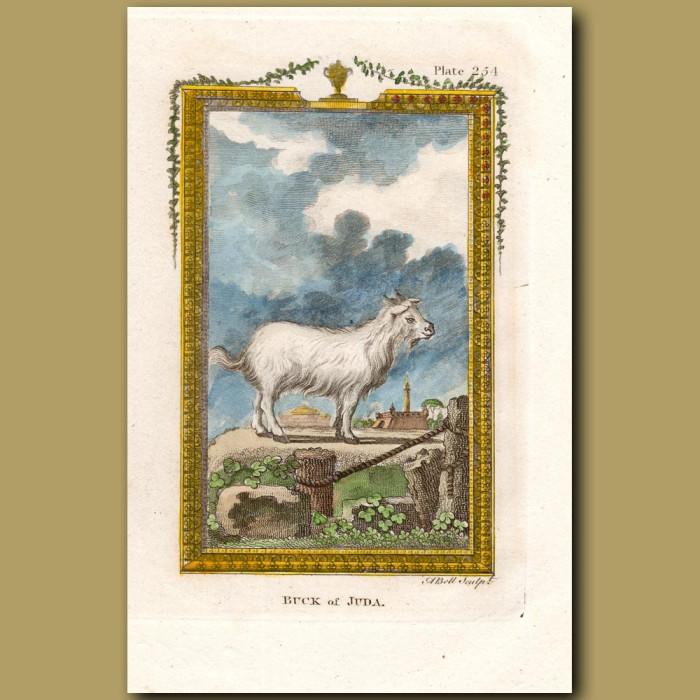 Buck of Juda: Genuine antique print for sale.