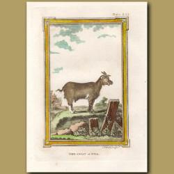 She Goat of Juda
