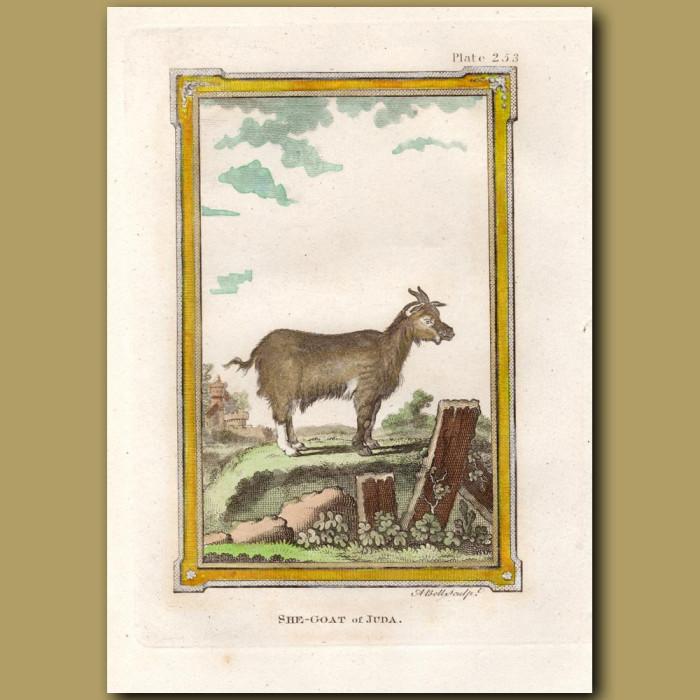 She Goat of Juda: Genuine antique print for sale.