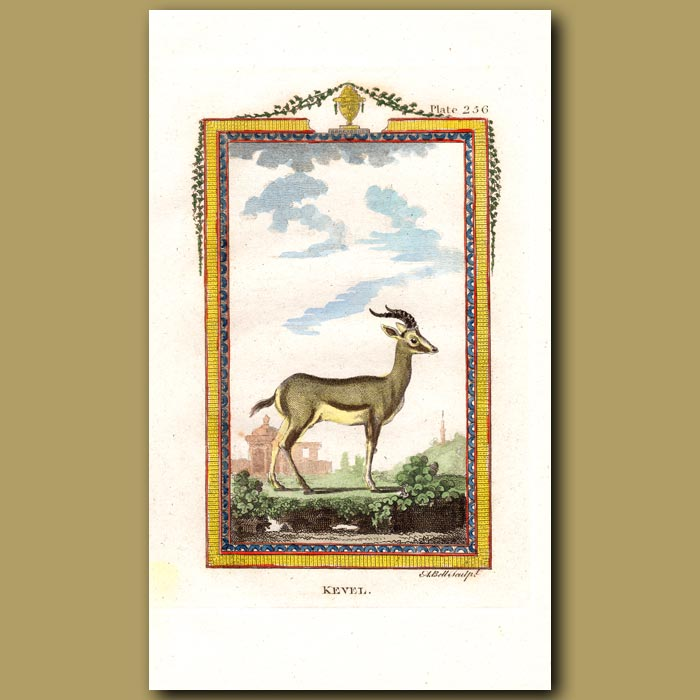 Antique print. Kevel Antelope