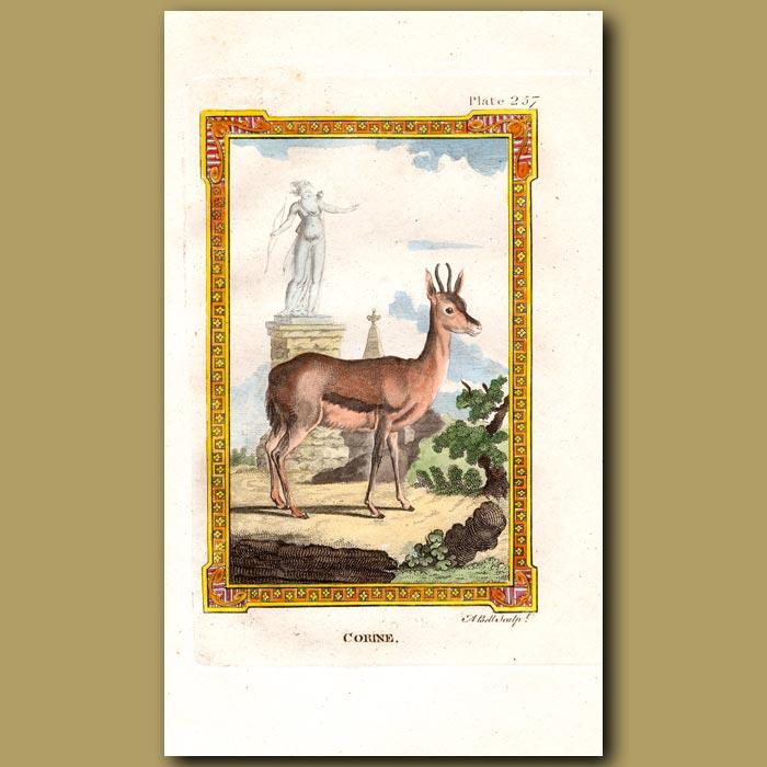 Antique print. Corine Antelope