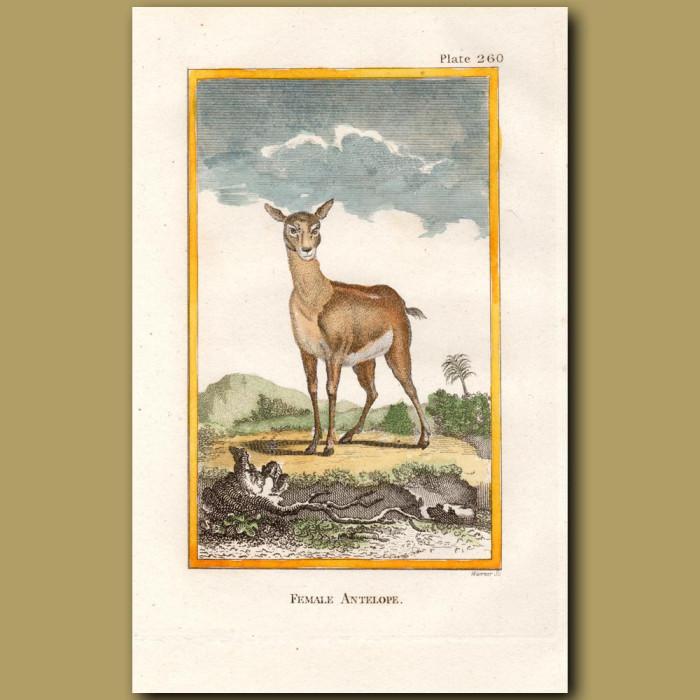 Antelope female: Genuine antique print for sale.