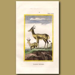 Leaping Goat or Springbok