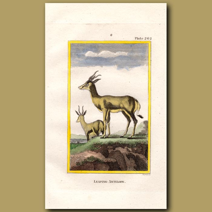 Antique print. Leaping Goat or Springbok