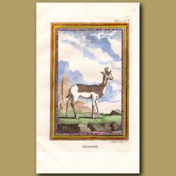 Nanguer or Dama Gazelle