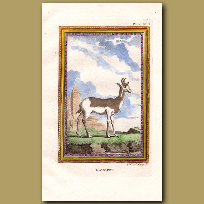Antique print. Nanguer or Dama Gazelle