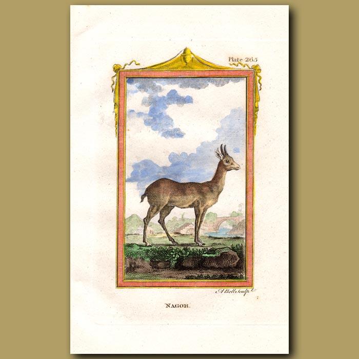 Antique print. Nagor or Bohor Reedbuck