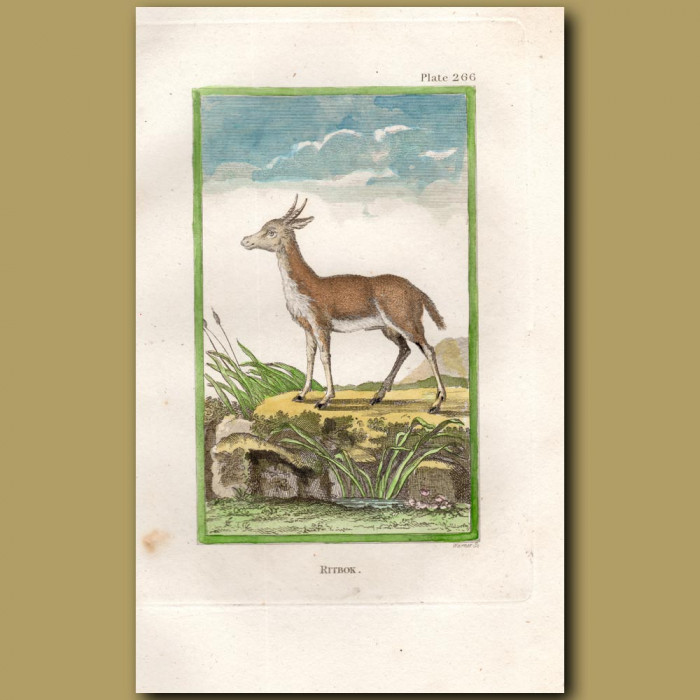 Ritbok: Genuine antique print for sale.
