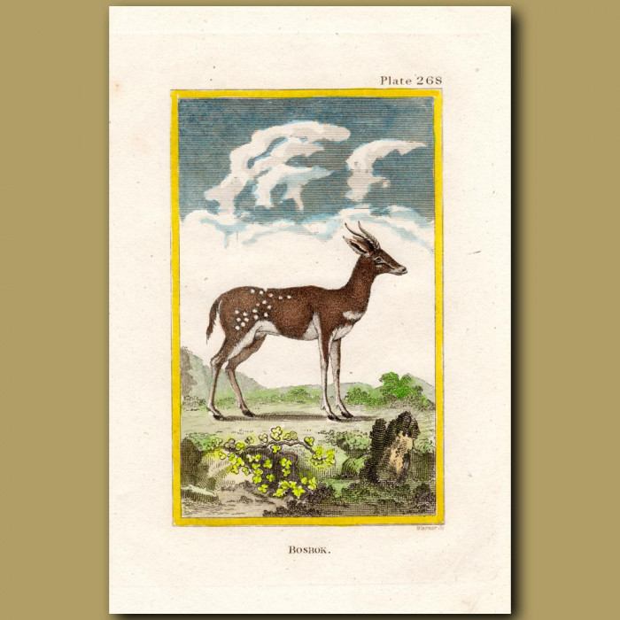 Bosbok: Genuine antique print for sale.