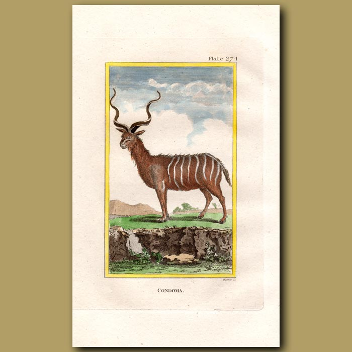 Antique print. Condoma or Greater Kudu