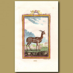 Guib or Harnessed Antelope