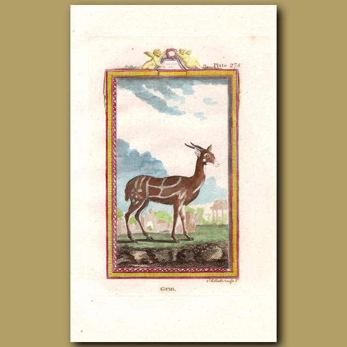 Antique print. Guib or Harnessed Antelope