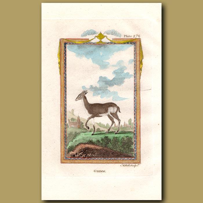 Antique print. Grimm or Guinea Antelope