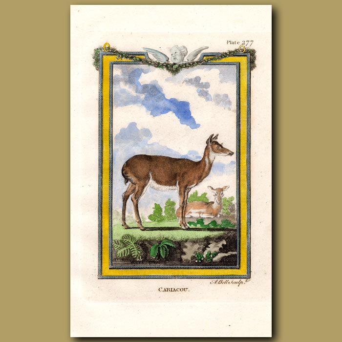 Antique print. Cariacou