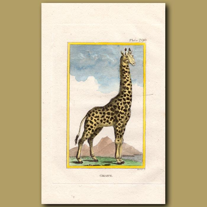 Antique print. Giraffe