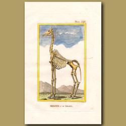 Skeleton of a Giraffe