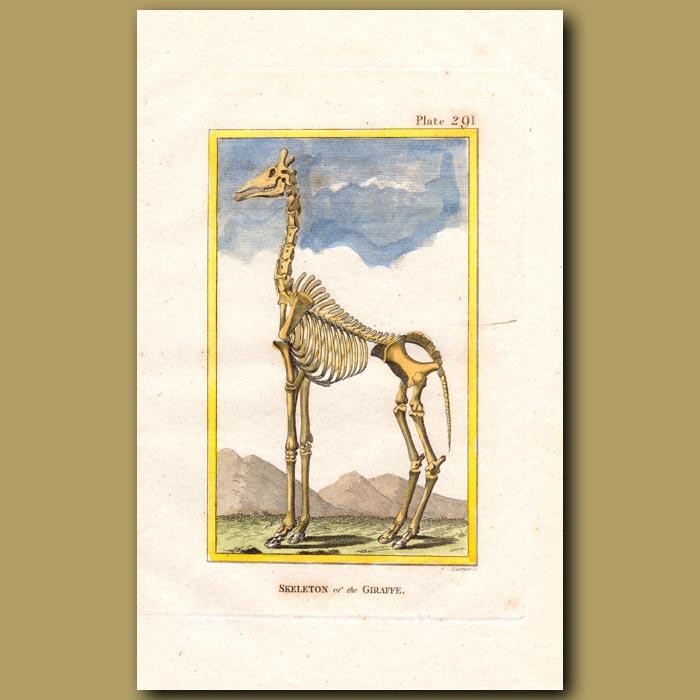 Antique print. Skeleton of a Giraffe