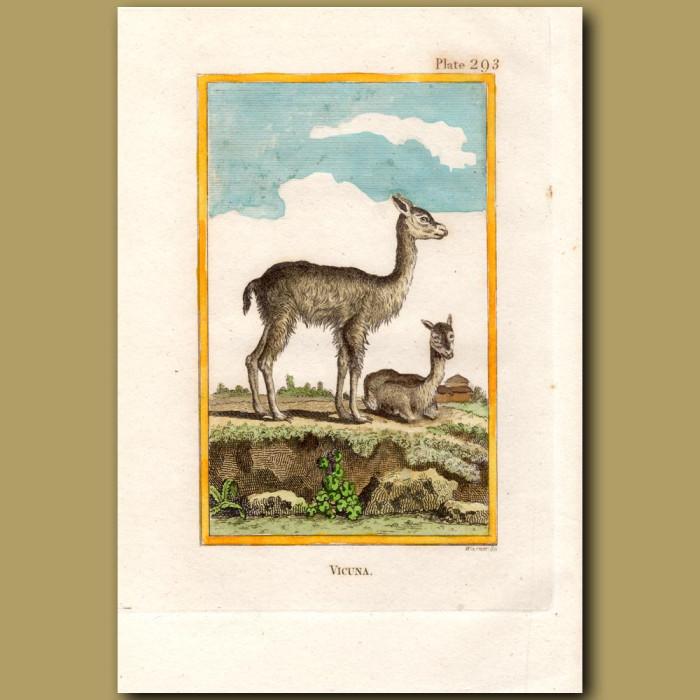 Vicuna: Genuine antique print for sale.