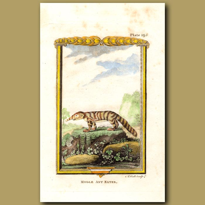 Antique print. Middle Ant Eater