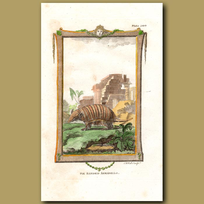 Antique print. Six-banded Armadillo