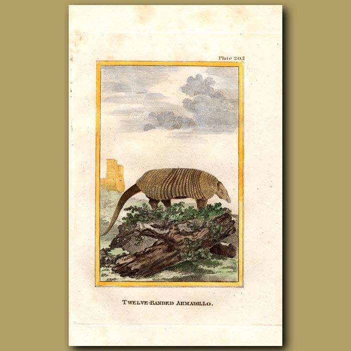 Antique print. Twelve-banded Armadillo