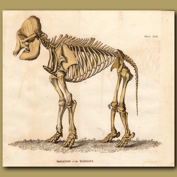 Antique print. Skeleton of the Elephant