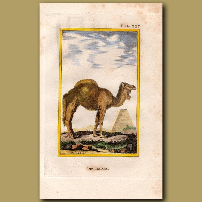Antique print. Dromedary