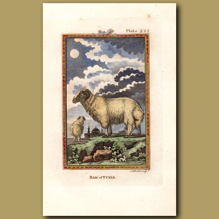 Antique print. Ram of Tunis
