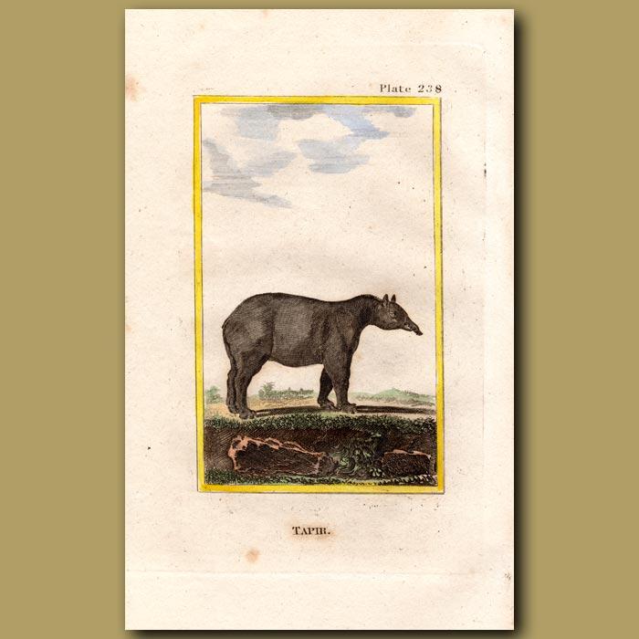 Antique print. Tapir