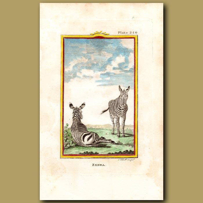 Antique print. zebra