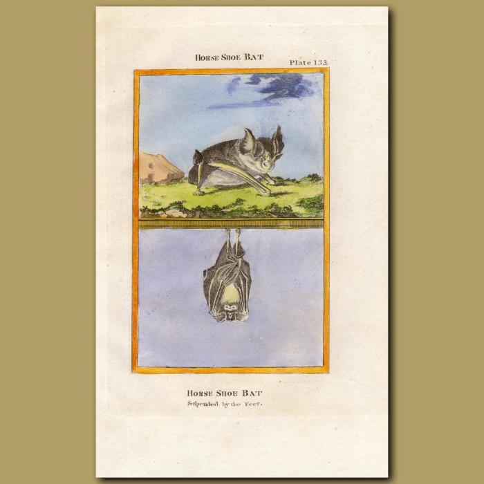 Horse Shoe Bat: Genuine antique print for sale.