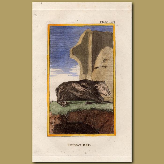 Ternat Bat: Genuine antique print for sale.